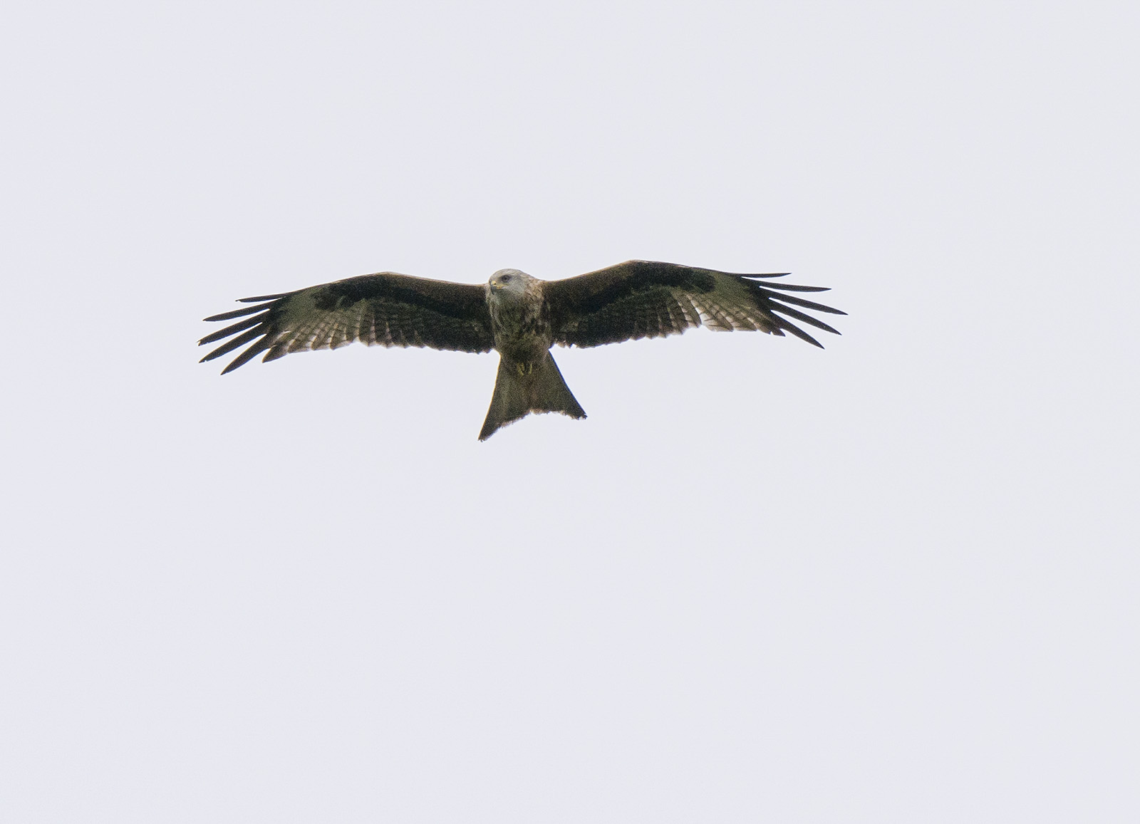 Bird of prey hovering over the canal on a hunting session