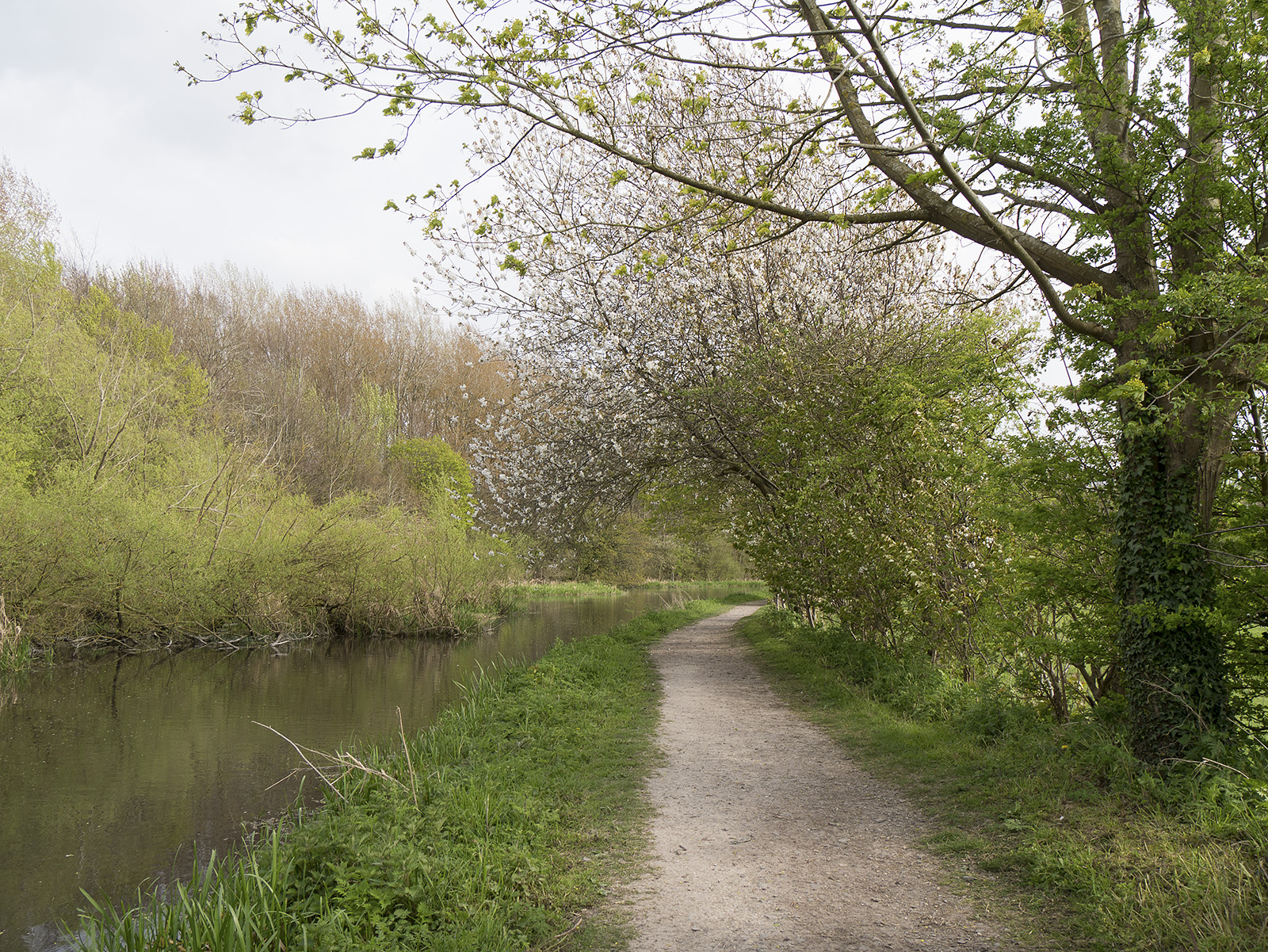 Tree blossom overhangs the canal path after Perch bridge