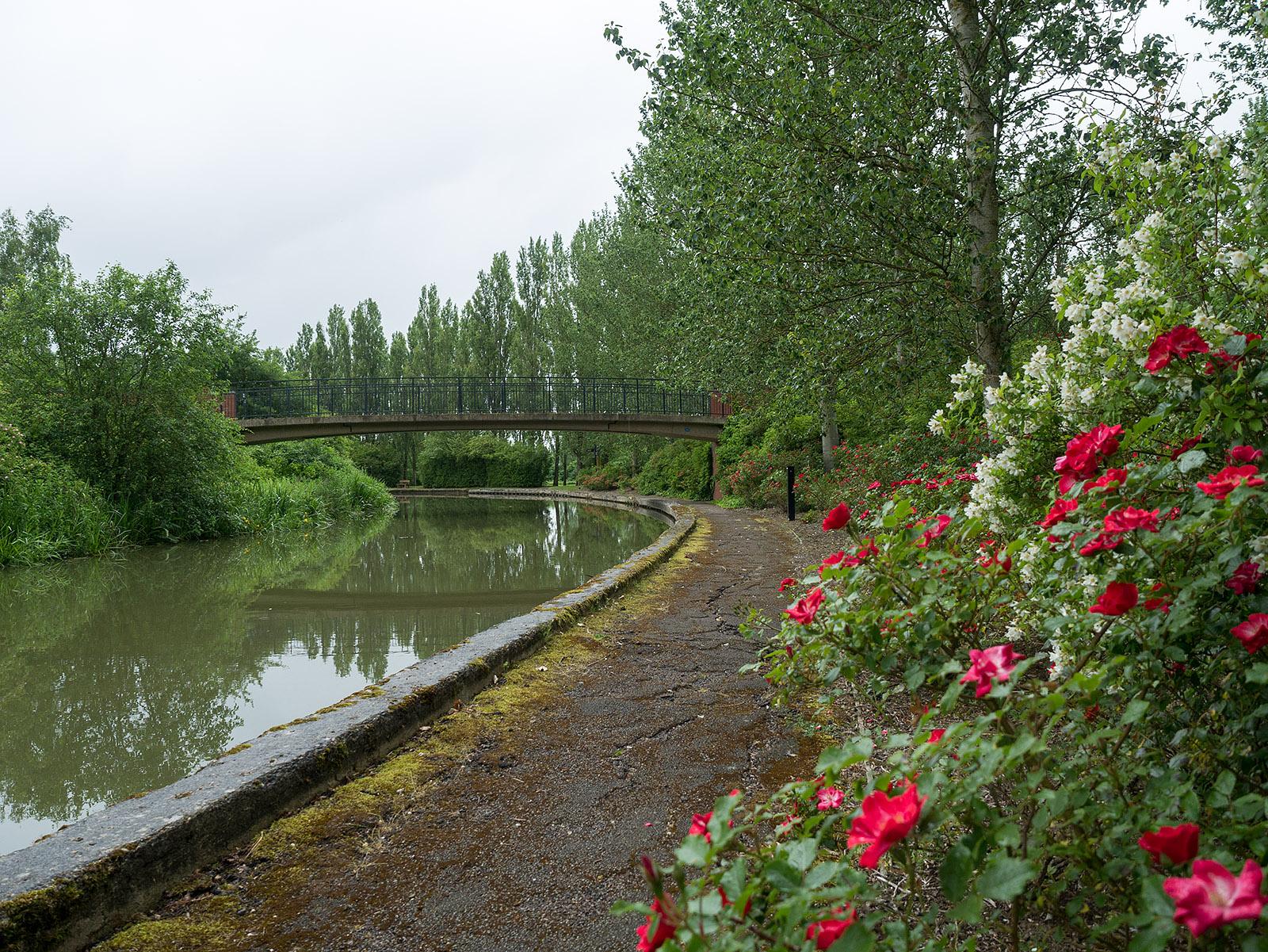 Roses near bridge 81B