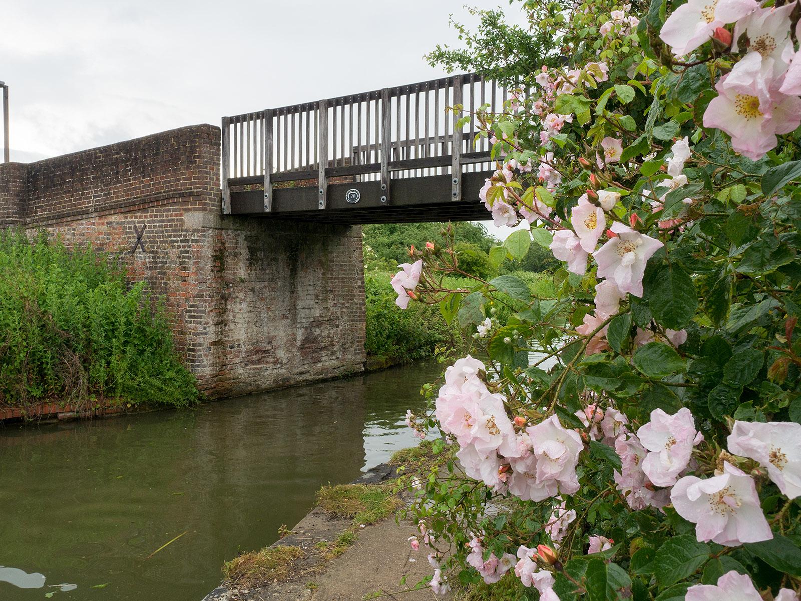 Roses near bridge 78