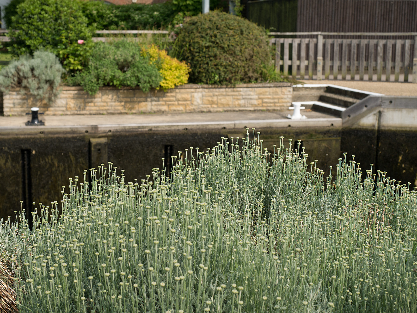 Plants by the side of Sandford lock