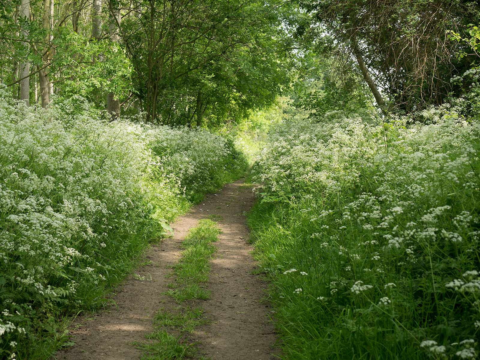 Cow parsley adorns the path