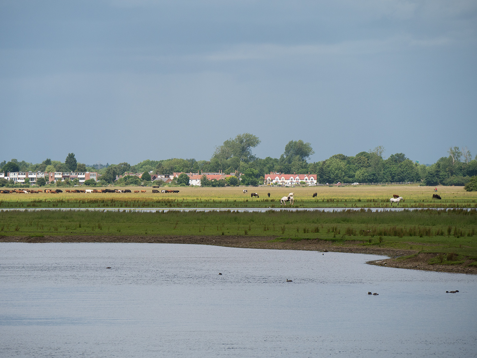 Cattle frazing on Port Meadow