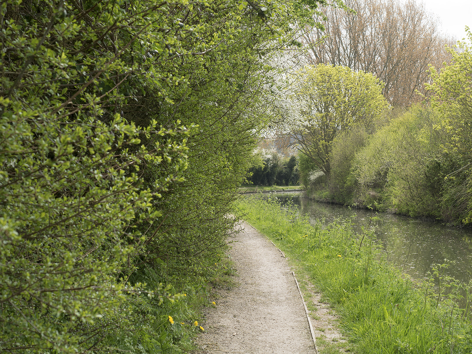 Overgrown hedges at the side impinge on the path